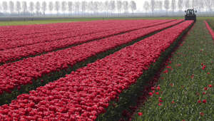 A farmer cuts tulips on a field near the city of Creil, Netherlands April 19, 2019.  REUTERS/A farmer cuts tulips on a field near the city of Creil, Netherlands April 19, 2019.  REUTERS/Yves Herman