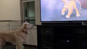 Adorable golden retriever gets emotional over 'Lion King' death scene
