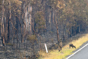 Wildlife that survived the bushfire in Wollemi National Park in Sydney graze for food.