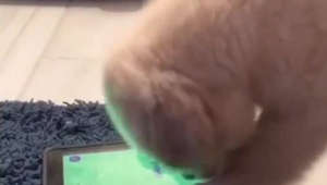 Puppy plays favorite game on owner's iPad