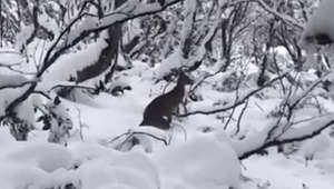 'What is this?' Confused kangaroo bumbles through snow in Australia