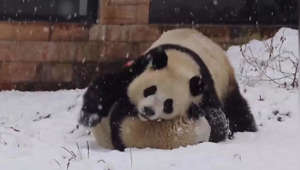 a panda bear sitting in the snow