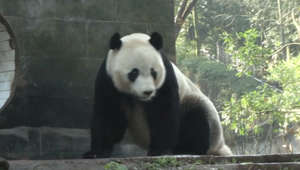 a panda bear in a zoo enclosure