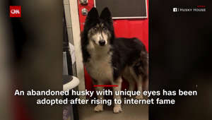 Abandoned husky with 'weird' eyes adopted after viral post