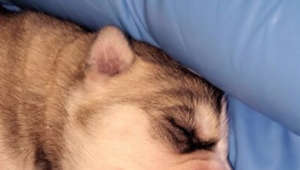 Newborn husky's first ever howling session will completely melt your heart