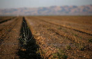 A lone weed grows on an unplanted field on August 21, 2014 in Firebaugh, California. As the severe California drought continues for a third straight year, Central California farming communites are struggling to survive with an unemployment rate nearing 40 percent in the towns of Mendota and Firebaugh. With limited supplies of water available to water crops, farmers are leaving acres of farmland unplanted and are having to lay off or reduce the hours of laborers.