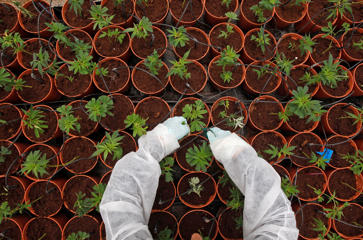 A worker tends to budding cannabis plants.