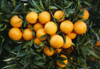 File photo of navel oranges, mature and harvest ready in Maricopa, Calif.