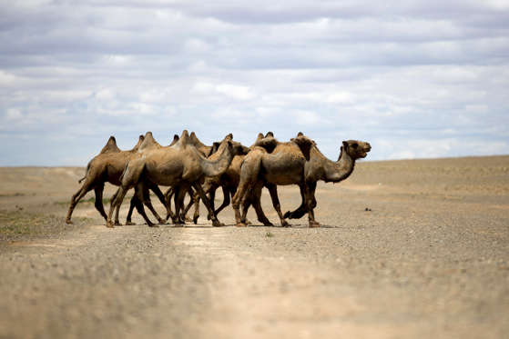 If off-road adventures are your thing, then a trip through the Gobi Desert is just the ticket. Travel through the nothingness, the rugged beauty will definitely impress you and if you get tired staying behind the wheel, then hop on a camel ride or camp with the nomads under the stars.