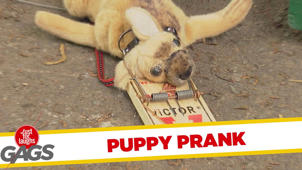 Puppy Gets Stuck in Mouse Trap