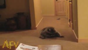 Rolling Raccoon