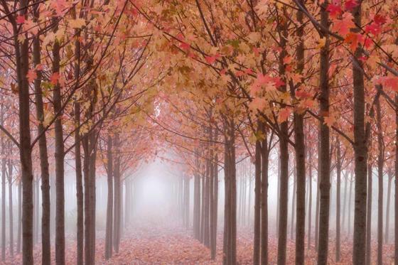 Maple trees, Oregon, USA
