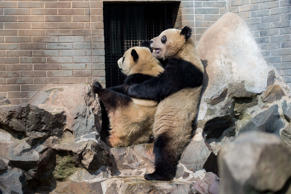 Giant panda twins Chengda and Chengxiao rest on a stone to enjoy the sun at the ...