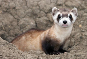 This image provided by the U.S. Fish and Wildlife Service shows a black-footed ferret. September marks the 30th anniversary of the rediscovery of black-footed ferrets more than two years after they had been declared extinct. The black-footed ferret now is one of the most successful examples of species reintroduction anywhere, with wild populations thriving from Canada to Mexico.(