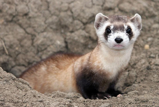 Slide 1 of 36: This image provided by the U.S. Fish and Wildlife Service shows a black-footed ferret. September marks the 30th anniversary of the rediscovery of black-footed ferrets more than two years after they had been declared extinct. The black-footed ferret now is one of the most successful examples of species reintroduction anywhere, with wild populations thriving from Canada to Mexico.(