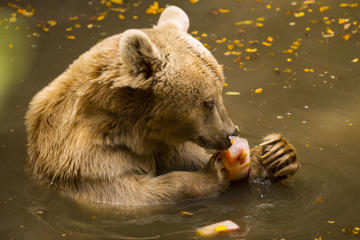 A Syrian brown bear bites a block of flavoured ice at the Israeli zoo of Ramat Gan, north of the Mediterranean coastal city of Tel Aviv, on May 27, 2015 as temperatures reached 44 degrees Celsius (111 Fahrenheit). AFP PHOTO / JACK GUEZ        (Photo credit should read JACK GUEZ/AFP/Getty Images)