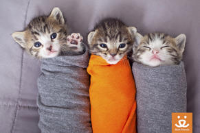 Kittens wrapped up in material. The shelter calls them 'Purritos'