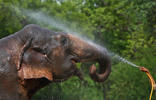 A caretaker of Rajlaxshmi, a female elephant, sprays water to keep her cool inside a zoological park on a hot summer day in New Delhi, India, May 28, 2015. A heat wave in India has killed at least 1,371 people this week as temperatures soar above 47 Celsius (116.6 Fahrenheit), and doctors' leave has been cancelled to help cope with the sick. REUTERS/Anindito