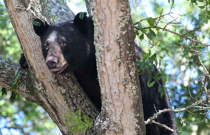 A black bear perches on a tree in Panama City, Fla.