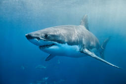 Heads up: You're right next to 15 great white sharks