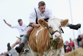 Participant Martin Breiter dressed in traditional Bavarian lederhosen competes in the 5th ox-racing championship (5. Muensinger Ochsenrennen)on August 26, 2012 in Muensing, Germany. The competition, which only takes place once every four year, is a race of jockeys riding bareback on oxen across a field and is complemented with a morning procession and 'ox-ball' (featuring roasted ox) in a festivities tent after the races.