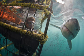 A great white shark passing a person in a dive cage underwater *Full story: http...