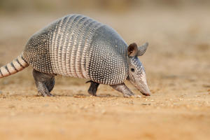 Armadillo. All Canada Photos/Getty Images