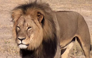 Cecil the lion killed by American dentist Walter Palmer, Zimbabwe, Africa.