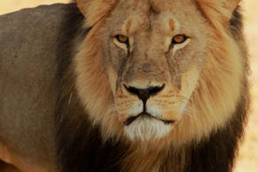 Cecil the Black maned Lion on the plains in Hwange National Park pictured on 18 November 2012. Paula French/REX