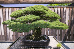 Japanese Bonsai tree from 1625 AD in National Arboretum, Washington D. C.