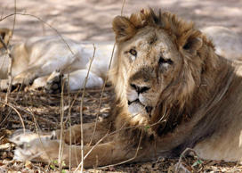 File: An Asiatic lion rests in Gir forest, about 355 km (221 miles) from the western Indian city of Ahmedabad April 14, 2007.