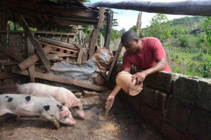 In this May 2014 photo, Howard Bailey feeds pigs inside pens at a farm in Bohemia, Jamaica. Bailey joined the U.S. Navy after high school in Brooklyn, N.Y. but ended up in the poor village of his childhood.