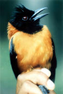 Scientists have discovered that a brightly colored songbird, the New Guinea pitohui, is the only known poisonout fowl, Oct.29, 1992. (AP Photo)