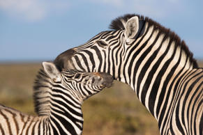 A Burchell's zebra with foal