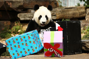 ADELAIDE, AUSTRALIA - AUGUST 23:  Fu Ni the giant panda is treated to specially prepared panda treats for her birthday at the Adelaide Zoo on August 23, 2015 in Adelaide, Australia. Fu Ni the giant panda is turning nine years old.