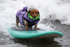 Coopertone, a surfing dachshund, rides a wave during the small dog competition at the 10th annual Petco Unleashed surf dog contest at Imperial Beach, California August 1, 2015. Proceeds raised at the event go to benefit the San Diego Humane Society.