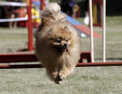 A dog jumps over an obstacle during the International Agility Riga Cup competition in Riga, Latvia, August 15, 2015.