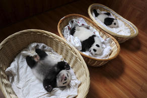 Giant panda cubs are seen inside baskets during their debut appearance to visitors at a giant panda breeding centre in Ya'an, Sichuan province, China, August 21, 2015. A total of 10 giant panda cubs that were born in the centre this year, aging from one week to two months, met visitors for the first time on Friday, local media reported.