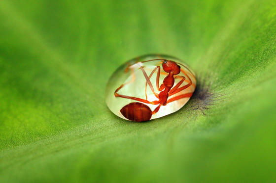Ant gets caught in a raindrop, Bantul, Indonesia