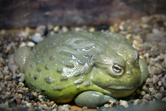 Slide 2 de 18: <p>Bullfrogs are usually considered a delicacy in certain African nations, where people eat the whole frog, not just the legs. However, they contain a range of toxic substances harmful to humans, especially young frogs who are yet to breed — they carry a toxin that can lead to kidney failure.</p>