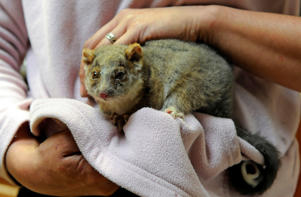 "<span style=""font-size:13px;"">Animal activists are calling for wider discussion about killing possums, saying current methods are cruel.</span>"
