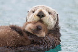 Sea Otter mother swimming with her cub.