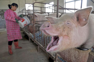 A farmer feeds water to pigs at an enclosure in a pig farm in Liaocheng, Shandong province April 9, 2015.