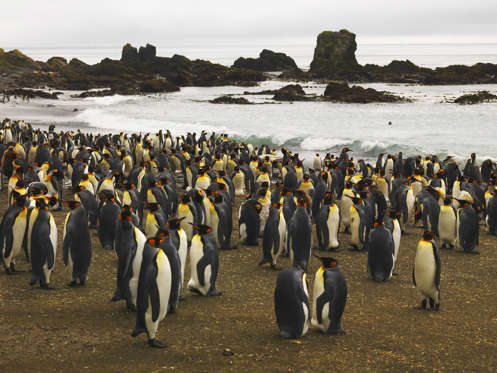 King Penguin colony (Aptenodytes patagonicus), Macquarie Island, Australian Antarctic