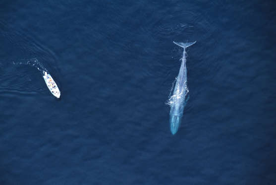 Blue Whale mother (Balaenoptera musculus) with research boat. Aerial view. Sea of Cortez (Gulf of California), Baja California, Mexico (Pacific coast). Endangered. Research boat 22 feet long