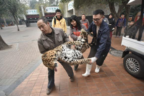CHENGDU, CHINA - FEBRUARY 02: (CHINA OUT) Workers carry the anesthetic leopard to its new room at Chengdu Zoo on February 2, 2016 in Chengdu, Sichuan Province of China. 9 leopards and panthers moved to new rooms to welcome the New Year at Chengdu Zoo. (Photo by Wu Xiaochuan/West China Metroplois Daily/ChinaFotoPress via Getty Images)