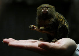 Hong Kong Ocean Park worker poses with a pygmy marmoset, the world's smallest monkey, in Hong Kong, China February 2, 2016. The Chinese New Year of the Monkey falls on February 8, 2016. REUTERS/Bobby Yip TPX IMAGES OF THE DAY