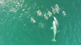 Drone captures whales and dolphins playing