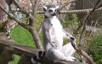 A lemur 'meditating' in the sun