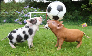 Miniature pigs enjoy a game of football at Pennywell Farm, Devon, Britain - 15 Sep 2009 Pennywell Farm's ginger and spotted miniature pigs take part in a game of football